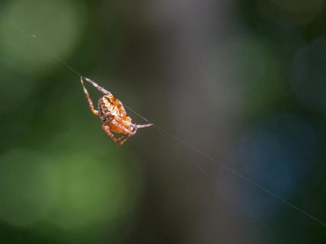 Araneus diadematus © Tondellier Bruno
