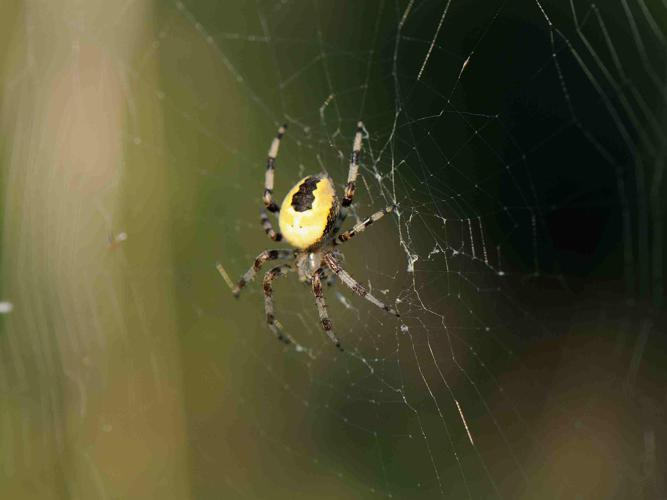 Araneus marmoreus © MATHOT William