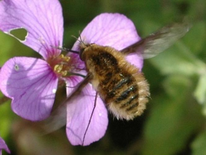 Bombylius major © VANSTEENE Nicolas