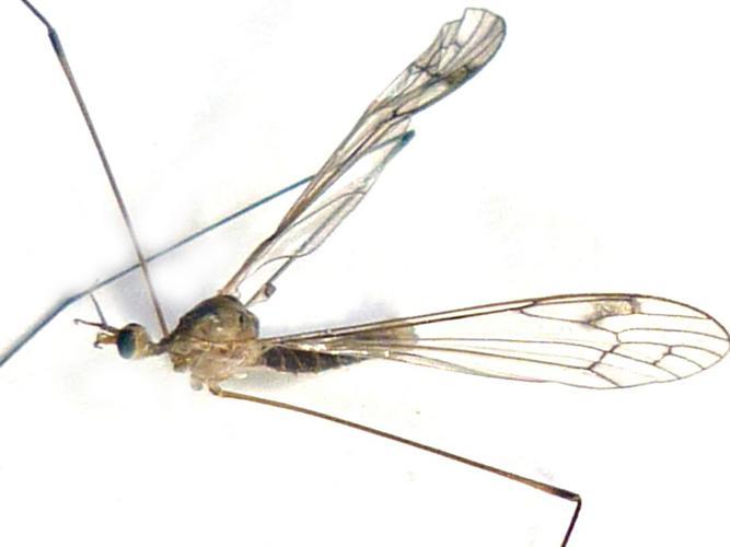Dicranomyia chorea © Bertrand Michel (ADEP)
