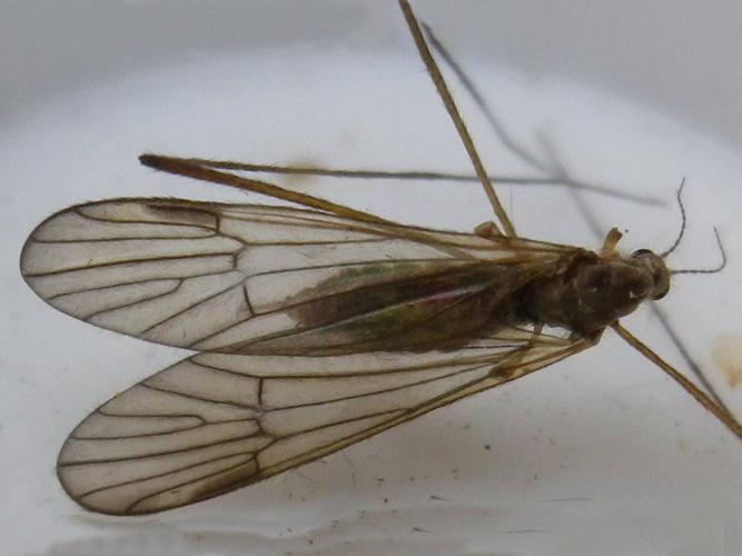 Rhypholophus bifurcatus © HALLART Guénael