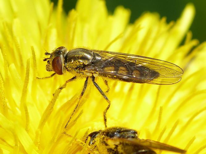 Platycheirus manicatus © BARBIER Simon