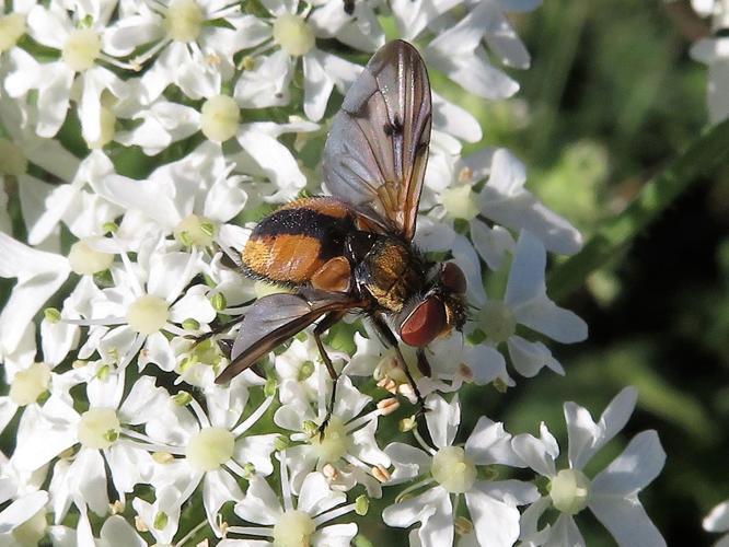 Ectophasia crassipennis © MAILLIER Sébastien