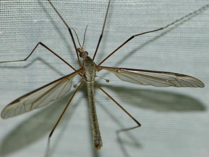 Tipula oleracea © BARBIER Simon