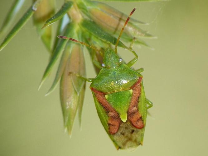 Cyphostethus tristriatus © BARBIER Simon