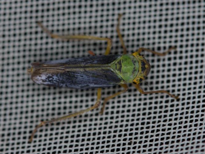 Cicadella viridis © BARBIER Simon