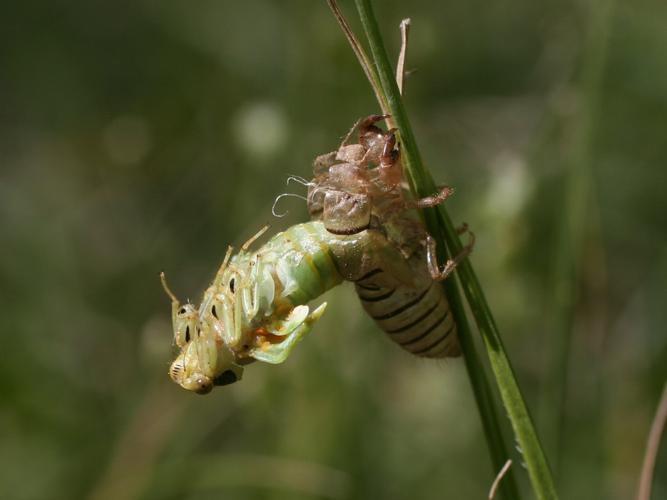 Cicadetta cantilatrix © TOP Damien