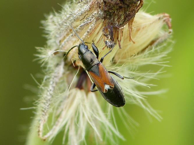 Pterotmetus staphyliniformis © BARBIER Simon