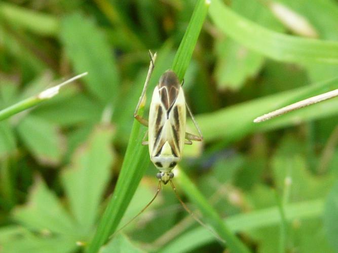 Stenotus binotatus © MAILLIER Sébastien (perso)