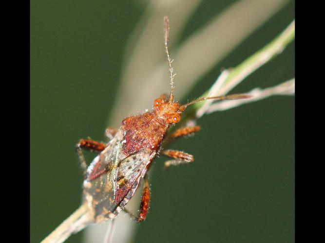 Rhopalus subrufus © COLINDRE LAURENT