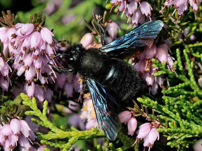 Xylocopa violacea © MATHOT William
