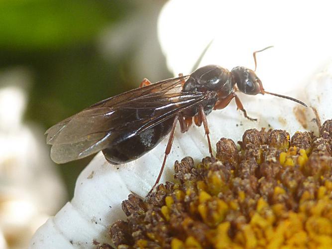 Lasius emarginatus © Bertrand Michel (ADEP)