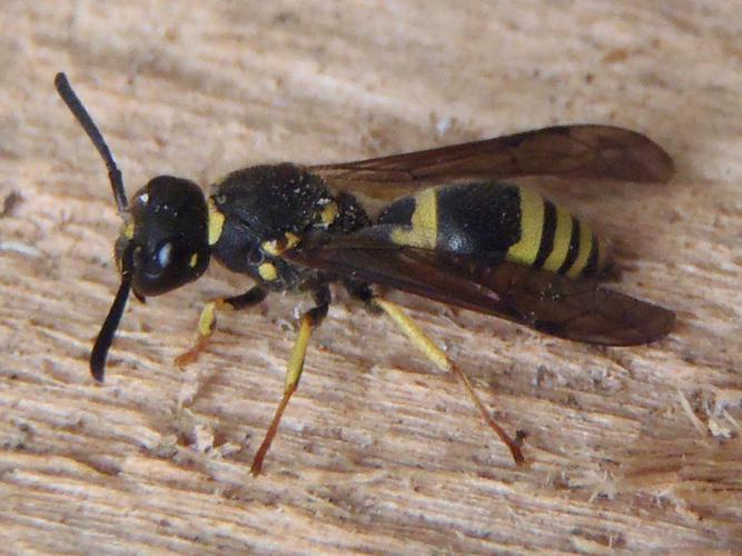 Ancistrocerus nigricornis © HALLART Guénael
