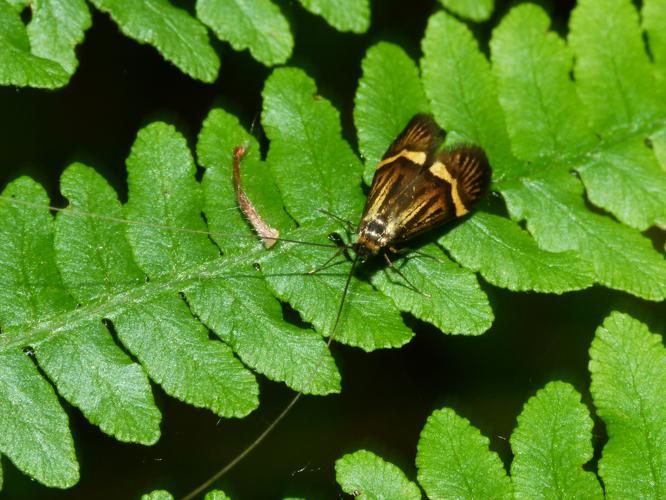 Nemophora degeerella © Desbas Jean-Baptiste