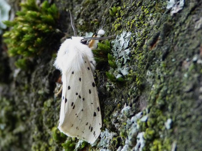 Spilosoma lubricipeda © BARBIER Simon