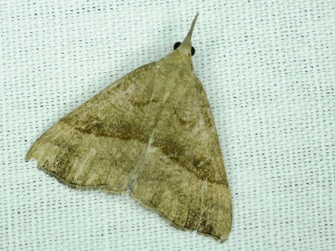 Hypena proboscidalis © MATHOT William