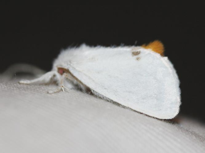 Euproctis similis © LETHEVE Xavier