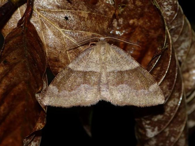 Plagodis pulveraria © BARBIER Simon