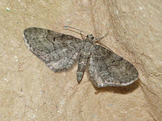 Eupithecia egenaria © BARBIER Simon
