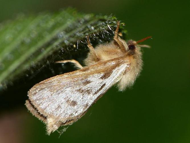 Korscheltellus lupulinus © BARBIER Simon