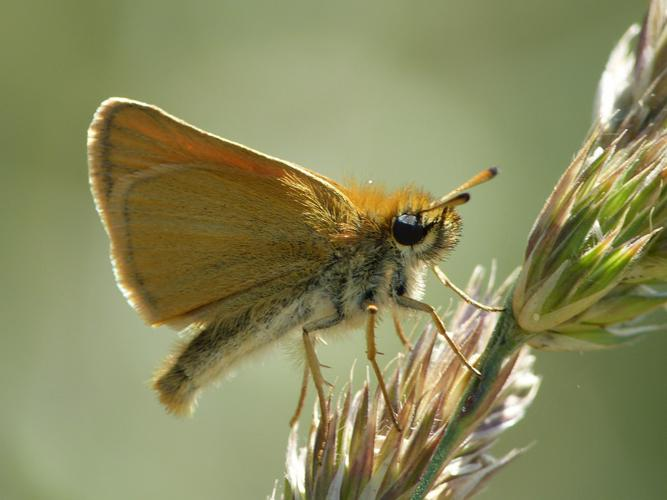Thymelicus lineola © BARBIER Simon