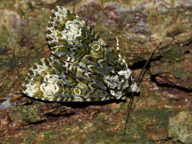 Craniophora ligustri © BARBIER Simon