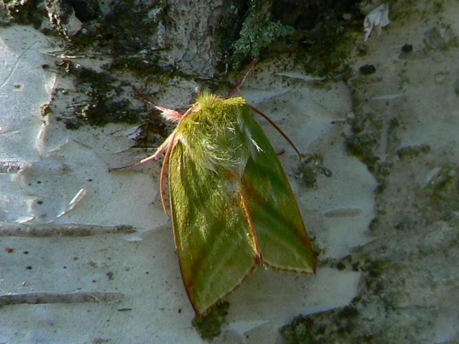 Pseudoips prasinana © Derozier Carole