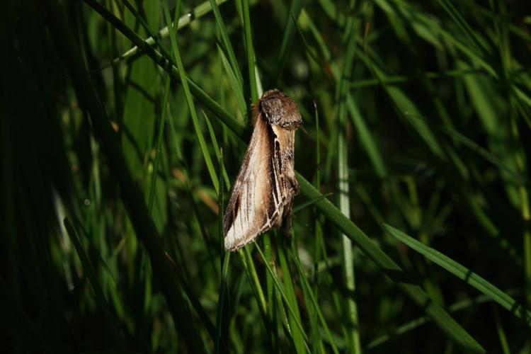 Pheosia tremula © HERMANT Thomas