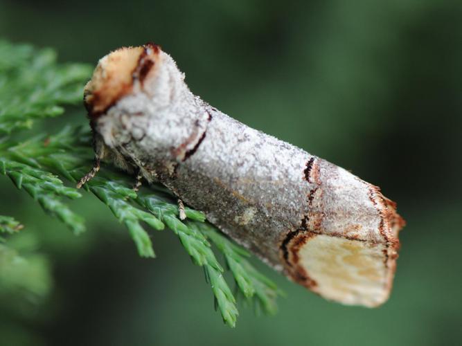 Phalera bucephala © MATHOT William