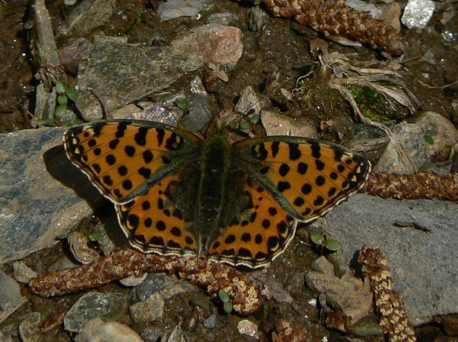 Issoria lathonia © derozier carole