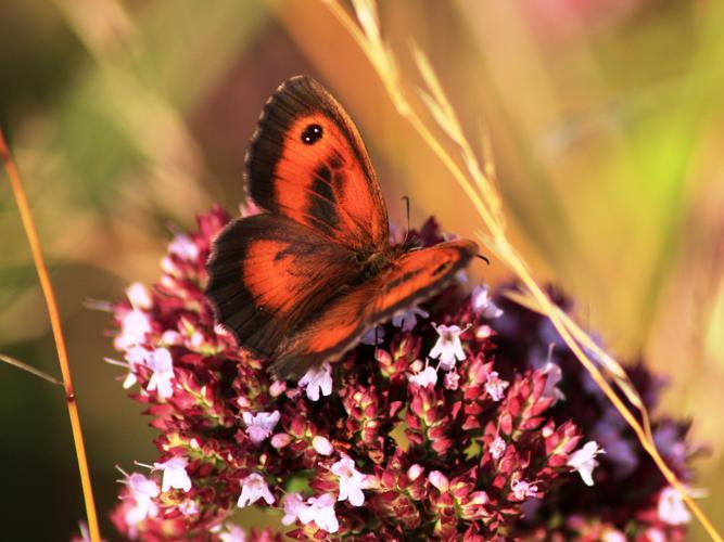 Pyronia tithonus © HERMANT Thomas