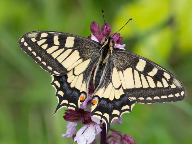 Papilio machaon © Tondellier Bruno