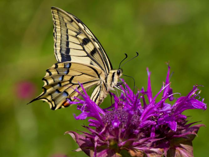 Papilio machaon © Cordelier Sylvain