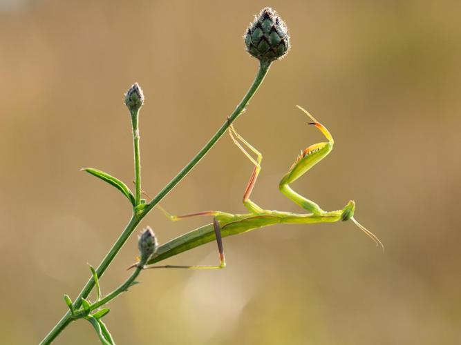 Mantis religiosa © Carliez Patrick