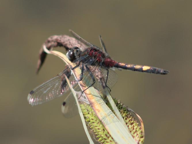 Leucorrhinia pectoralis © TOP Damien