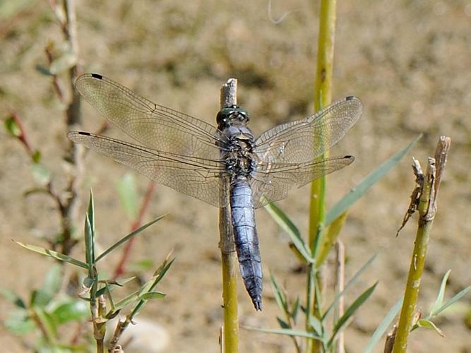 Orthetrum cancellatum © MATHOT William