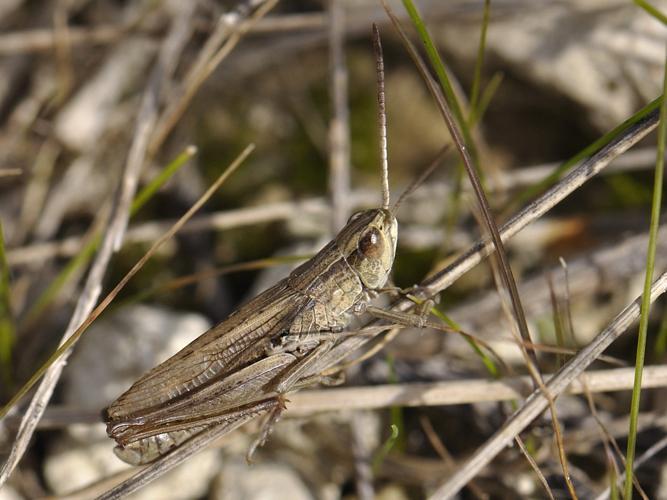 Chorthippus albomarginatus © HERCENT Jean-Luc
