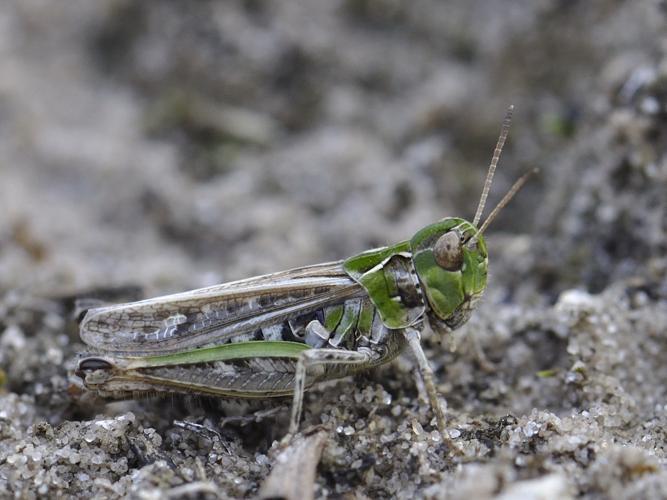 Myrmeleotettix maculatus © HERCENT Jean-Luc