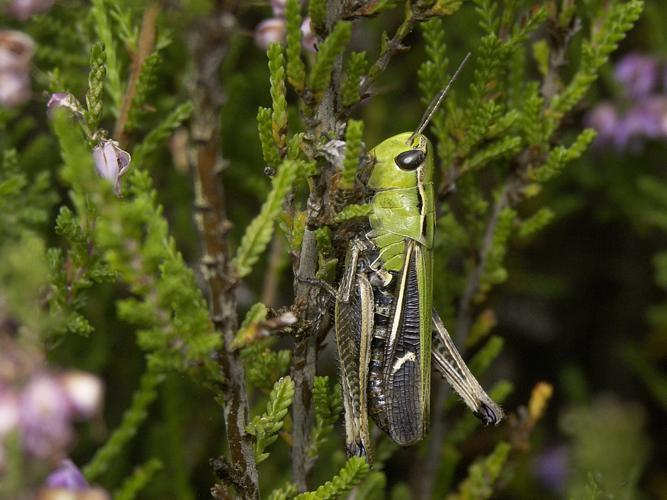 Stenobothrus lineatus © HERCENT Jean-Luc