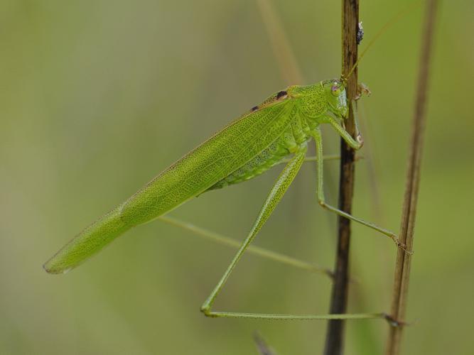 Phaneroptera falcata © HERCENT Jean-Luc