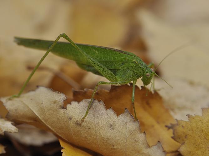 Phaneroptera nana © HERCENT Jean-Luc