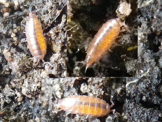 Trichoniscus pusillus © HALLART Guénael