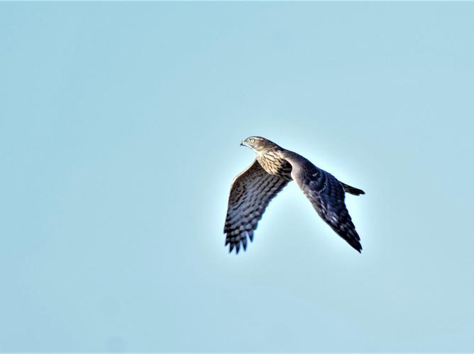 Accipiter gentilis © Vathelet cyril