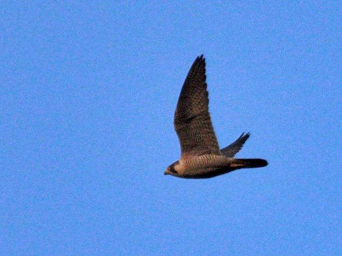 Falco peregrinus © PERSYN Jacques