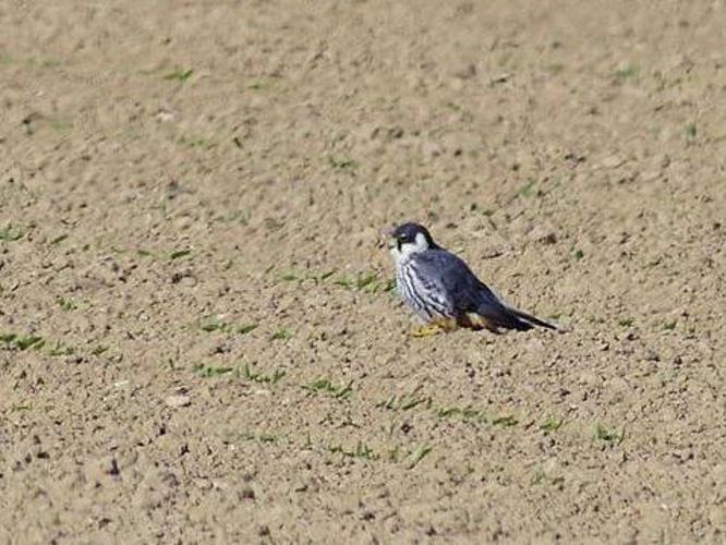 Falco subbuteo © NIANANE ERIC