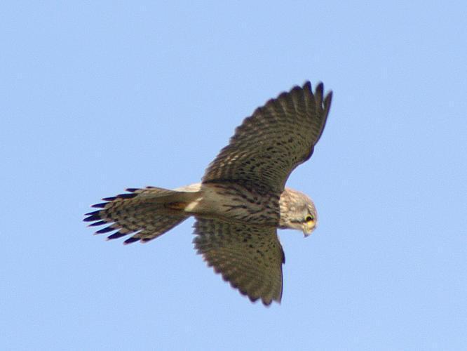 Falco tinnunculus © LANDO Philippe