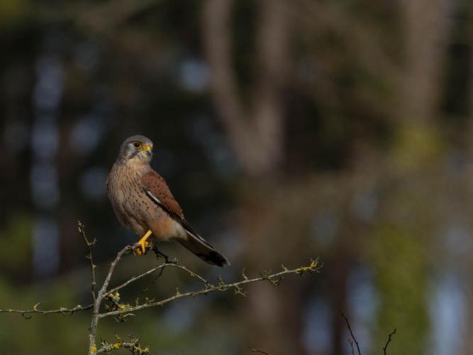 Falco tinnunculus © monard benoit