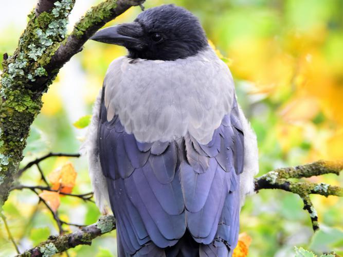 Corvus cornix © Vathelet cyril