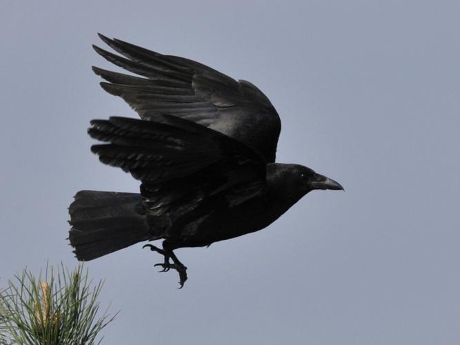 Corvus corone corone © HERCENT Jean-Luc