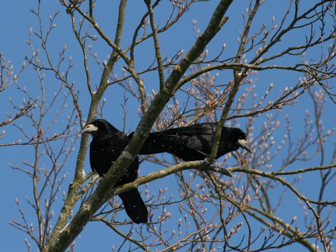 Corvus frugilegus © LE SCOUARNEC Yannick